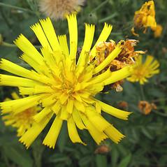 Flowers: Hieracium scabrum. ~ By Marilee Lovit. ~ Copyright © 2019 Marilee Lovit. ~ lovitm[at]gmail.com