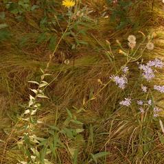 Plant form: Hieracium umbellatum. ~ By Katy Chayka. ~ Copyright © 2017 Minnesota Wildflowers Information. ~ info@minnesotawildflowers.info