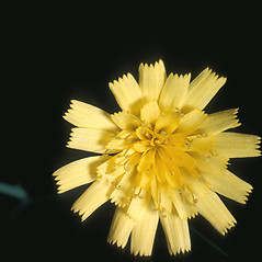 Flowers: Hieracium venosum. ~ By Frank Bramley. ~ Copyright © 2017 New England Wild Flower Society. ~ Image Request, images[at]newenglandwild.org