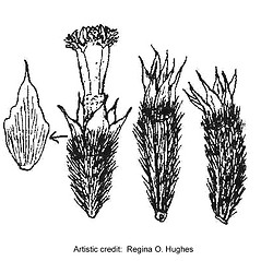 Fruits: Hymenoxys odorata. ~ By Regina O. Hughes. ~  Public Domain. ~  ~ Reed, C.F. 1970. Selected weeds of the United States. USDA Agric. Res. Ser. Agric. Handbook 336
