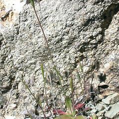 Plant form: Hypochaeris glabra. ~ By Keir Morse. ~ Copyright © 2018 Keir Morse. ~ www.keiriosity.com ~ www.keiriosity.com