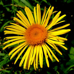 Flowers: Inula salicina. ~ By Antonino Messina. ~ Copyright © 2018 Antonino Messina. ~ ninomes[at]gmail.com ~ Acta Plantarum -  www.actaplantarum.org