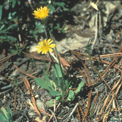 Plant form: Krigia virginica. ~ By Lawrence Newcomb. ~ Copyright © 2019 New England Wild Flower Society. ~ Image Request, images[at]newenglandwild.org