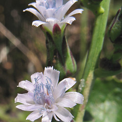 Flowers: Lactuca biennis. ~ By Marilee Lovit. ~ Copyright © 2019 Marilee Lovit. ~ lovitm[at]gmail.com