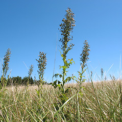 Plant form: Lactuca biennis. ~ By Marilee Lovit. ~ Copyright © 2019 Marilee Lovit. ~ lovitm[at]gmail.com