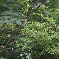 Plant form: Lactuca canadensis. ~ By Steven Baskauf. ~ Copyright © 2018 CC-BY-NC-SA. ~  ~ Bioimages - www.cas.vanderbilt.edu/bioimages/frame.htm