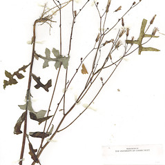 Plant form: Lactuca hirsuta. ~ By CONN Herbarium. ~ Copyright © 2018 CONN Herbarium. ~ Requests for image use not currently accepted by copyright holder ~ U. of Connecticut Herbarium - bgbaseserver.eeb.uconn.edu/