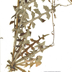 Leaves: Lactuca hirsuta. ~ By CONN Herbarium. ~ Copyright © 2018 CONN Herbarium. ~ Requests for image use not currently accepted by copyright holder ~ U. of Connecticut Herbarium - bgbaseserver.eeb.uconn.edu/
