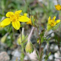 Flowers: Lasthenia californica. ~ By Keir Morse. ~ Copyright © 2019 Keir Morse. ~ www.keiriosity.com ~ www.keiriosity.com