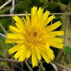 Flowers: Leontodon hispidus. ~ By Franco Giordana. ~ Copyright © 2017 Franco Giordana. ~ francogrd[at]gmail.com ~ Acta Plantarum -  www.actaplantarum.org