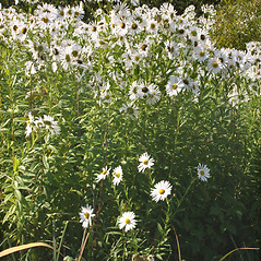 Plant form: Leucanthemella serotina. ~ By Steve Garske. ~ Copyright © 2018 Steve Garske. ~ asimina[at]alphacomm.net