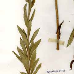 Leaves: Leucanthemella serotina. ~ By CONN Herbarium. ~ Copyright © 2017 CONN Herbarium. ~ Requests for image use not currently accepted by copyright holder ~ U. of Connecticut Herbarium - bgbaseserver.eeb.uconn.edu/