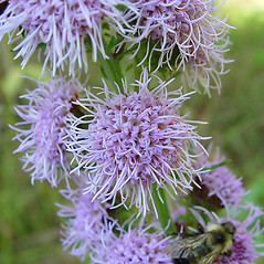Flowers: Liatris novae-angliae. ~ By Arthur Haines. ~ Copyright © 2019. ~ arthurhaines[at]wildblue.net