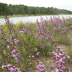 Plant form: Liatris novae-angliae. ~ By Jennifer Garrett. ~ Copyright © 2017 Jennifer Garrett. ~ gemmiferg[at]gmail.com