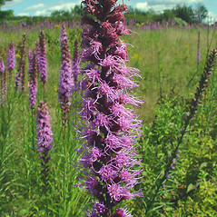 Flowers: Liatris pycnostachya. ~ By Arthur Haines. ~ Copyright © 2018. ~ arthurhaines[at]wildblue.net