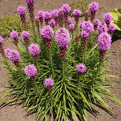 Leaves: Liatris spicata. ~ By Charles Brun. ~ Copyright © 2020. ~ brunc[at]wsu.edu ~ Pacific Northwest Plants - www.pnwplants.wsu.edu/