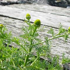 Plant form: Matricaria discoidea. ~ By Glen Mittelhauser. ~ Copyright © 2017 Glen Mittelhauser. ~ www.mainenaturalhistory.org