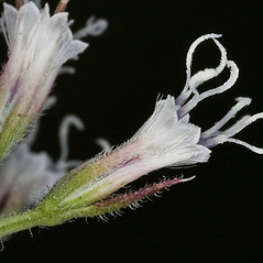 Flowers: Mikania scandens. ~ By John Gwaltney. ~ Copyright © 2019 John Gwaltney. ~ southeasternflora.com ~ Southeastern Flora - www.southeasternflora.com/