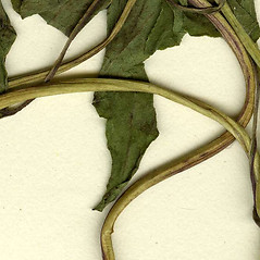 Stems: Mikania scandens. ~ By CONN Herbarium. ~ Copyright © 2018 CONN Herbarium. ~ Requests for image use not currently accepted by copyright holder ~ U. of Connecticut Herbarium - bgbaseserver.eeb.uconn.edu/