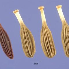 Fruits: Mulgedium pulchellum. ~ By Steve Hurst. ~  Public Domain. ~  ~ USDA-NRCS Plants Database - plants.usda.gov/java/