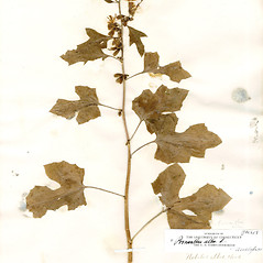 Plant form: Nabalus albus. ~ By CONN Herbarium. ~ Copyright © 2019 CONN Herbarium. ~ Requests for image use not currently accepted by copyright holder ~ U. of Connecticut Herbarium - bgbaseserver.eeb.uconn.edu/