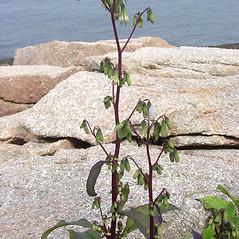Plant form: Nabalus trifoliolatus. ~ By Glen Mittelhauser. ~ Copyright © 2019 Glen Mittelhauser. ~ www.mainenaturalhistory.org