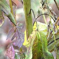 Stems: Nabalus trifoliolatus. ~ By Arieh Tal. ~ Copyright © 2019 Arieh Tal. ~ http://botphoto.com/ ~ Arieh Tal - botphoto.com
