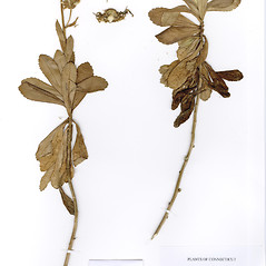 Plant form: Nipponanthemum nipponicum. ~ By CONN Herbarium. ~ Copyright © 2018 CONN Herbarium. ~ Requests for image use not currently accepted by copyright holder ~ U. of Connecticut Herbarium - bgbaseserver.eeb.uconn.edu/