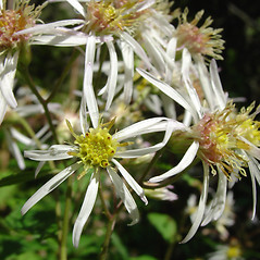 Flowers: Oclemena acuminata. ~ By Glen Mittelhauser. ~ Copyright © 2020 Glen Mittelhauser. ~ www.mainenaturalhistory.org