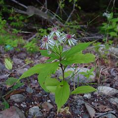 Plant form: Oclemena acuminata. ~ By Arthur Haines. ~ Copyright © 2018. ~ arthurhaines[at]wildblue.net