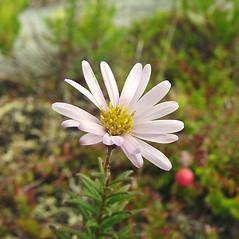 Flowers: Oclemena nemoralis. ~ By Glen Mittelhauser. ~ Copyright © 2019 Glen Mittelhauser. ~ www.mainenaturalhistory.org