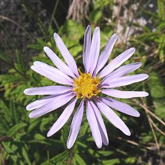 Flowers: Oclemena nemoralis. ~ By Marilee Lovit. ~ Copyright © 2019 Marilee Lovit. ~ lovitm[at]gmail.com