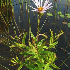 Plant form: Oclemena nemoralis. ~ By Donna Kausen. ~ Copyright © 2019 Donna Kausen. ~ 33 Bears Den, Addison, ME 04606