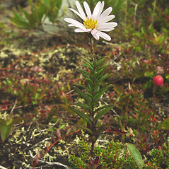 Plant form: Oclemena nemoralis. ~ By Glen Mittelhauser. ~ Copyright © 2019 Glen Mittelhauser. ~ www.mainenaturalhistory.org