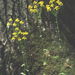 Plant form: Packera aurea. ~ By Arieh Tal. ~ Copyright © 2018 Arieh Tal. ~ http://botphoto.com/ ~ Arieh Tal - botphoto.com