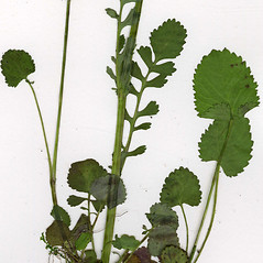 Leaves: Packera aurea. ~ By CONN Herbarium. ~ Copyright © 2019 CONN Herbarium. ~ Requests for image use not currently accepted by copyright holder ~ U. of Connecticut Herbarium - bgbaseserver.eeb.uconn.edu/