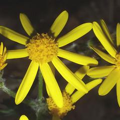 Flowers: Packera obovata. ~ By Steven Baskauf. ~ Copyright © 2020 CC-BY-NC-SA. ~  ~ Bioimages - www.cas.vanderbilt.edu/bioimages/frame.htm