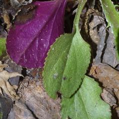 Leaves: Packera obovata. ~ By Steven Baskauf. ~ Copyright © 2020 CC-BY-NC-SA. ~  ~ Bioimages - www.cas.vanderbilt.edu/bioimages/frame.htm