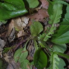 Leaves: Packera obovata. ~ By Steven Baskauf. ~ Copyright © 2018 CC-BY-NC-SA. ~  ~ Bioimages - www.cas.vanderbilt.edu/bioimages/frame.htm