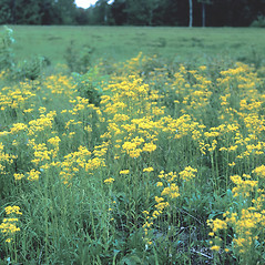 Plant form: Packera schweinitziana. ~ By Frank Bramley. ~ Copyright © 2017 New England Wild Flower Society. ~ Image Request, images[at]newenglandwild.org