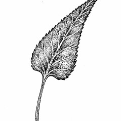 Leaves: Packera schweinitziana. ~ By Elizabeth Farnsworth. ~ Copyright © 2019 New England Wild Flower Society. ~ Image Request, images[at]newenglandwild.org