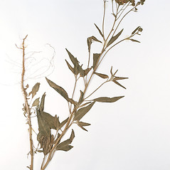 Plant form: Palafoxia texana. ~ By University of Massachusetts Herbarium (MASS). ~ Copyright © 2019 University of Massachusetts Herbarium. ~ University of Massachusetts Herbarium ~ U. of Massachusetts Herbarium