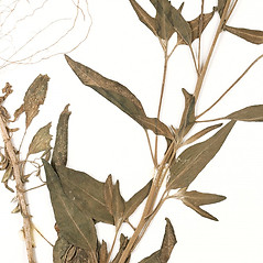 Leaves: Palafoxia texana. ~ By University of Massachusetts Herbarium (MASS). ~ Copyright © 2019 University of Massachusetts Herbarium. ~ University of Massachusetts Herbarium ~ U. of Massachusetts Herbarium