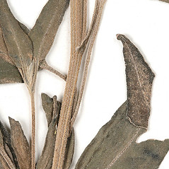 Stems: Palafoxia texana. ~ By University of Massachusetts Herbarium (MASS). ~ Copyright © 2018 University of Massachusetts Herbarium. ~ University of Massachusetts Herbarium ~ U. of Massachusetts Herbarium