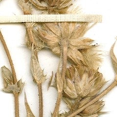 Fruits: Perezia multiflora. ~ By William and Linda Steere and the C.V. Starr Virtual Herbarium. ~ Copyright © 2020 William and Linda Steere and the C.V. Starr Virtual Herbarium. ~ Barbara Thiers, Director; bthiers[at]nybg.org ~ C.V. Starr Herbarium - NY Botanical Gardens