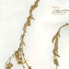 Plant form: Perezia multiflora. ~ By William and Linda Steere and the C.V. Starr Virtual Herbarium. ~ Copyright © 2020 William and Linda Steere and the C.V. Starr Virtual Herbarium. ~ Barbara Thiers, Director; bthiers[at]nybg.org ~ C.V. Starr Herbarium - NY Botanical Gardens