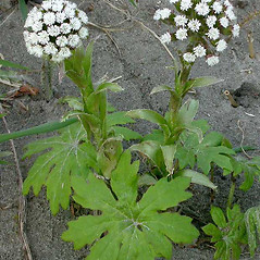 Plant form: Petasites frigidus. ~ By Ben Legler. ~ Copyright © 2020 Ben Legler. ~ mountainmarmot[at]hotmail.com ~ U. of Washington - WTU - Herbarium - biology.burke.washington.edu/herbarium/imagecollection.php