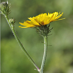 Flowers: Picris hieracioides. ~ By Andrew Nelson. ~ Copyright © 2019 Andrew Nelson. ~ andrew.nelson[at]oswego.edu   ~ New York Flora Atlas - newyork.plantatlas.usf.edu