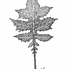 Leaves: Polymnia canadensis. ~ By Elizabeth Farnsworth. ~ Copyright © 2018 New England Wild Flower Society. ~ Image Request, images[at]newenglandwild.org