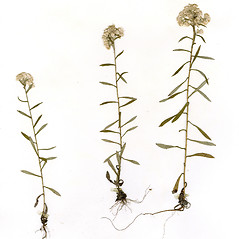 Plant form: Pseudognaphalium micradenium. ~ By CONN Herbarium. ~ Copyright © 2018 CONN Herbarium. ~ Requests for image use not currently accepted by copyright holder ~ U. of Connecticut Herbarium - bgbaseserver.eeb.uconn.edu/